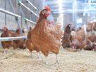 """ดันมาตรฐาน """"ฟาร์มไก่ไข่แบบไม่ใช้กรง"""" -เผย NGOs ผลิตคลิปบิดเบือน กระทบอุตสาหกรรม"""